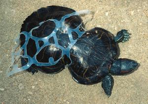 Turtle-in-plastic-300x212