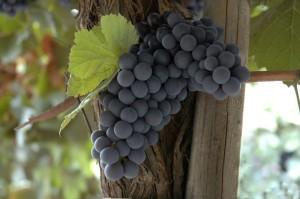 lariojana-grapes(19)